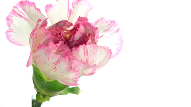 close-up pink striped carnations blooming - carnation flower stock videos & royalty-free footage