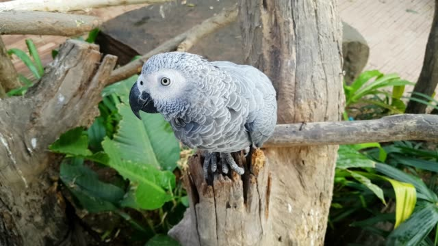 close-up playful african grey parrot standing on branch - grey stock videos & royalty-free footage