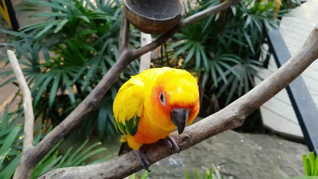 nahaufnahme verspielte gelbe papagei steht auf der filiale - wellensittich sittich stock-videos und b-roll-filmmaterial