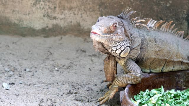 close-up portrait of green cute iguana sitting on the sand - lizard stock videos & royalty-free footage