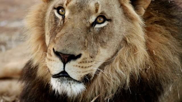 Close-up portrait of male lion