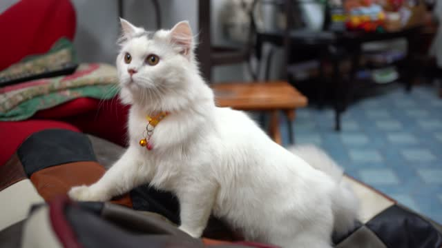 close-up portrait of very beautiful white cat with beautiful eyes. - 1976 stock videos & royalty-free footage