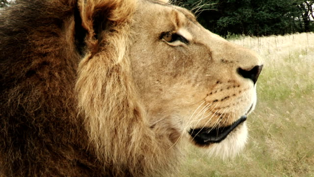 close-up portrait view of male lion(panthera leo) looking about - threatened species stock videos & royalty-free footage