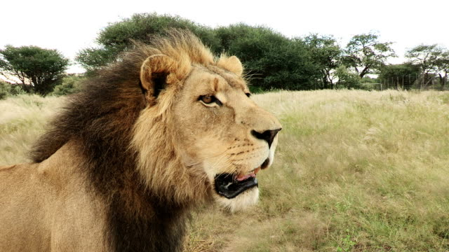 close-up portrait view of Male Lion(Panthera leo) looking about