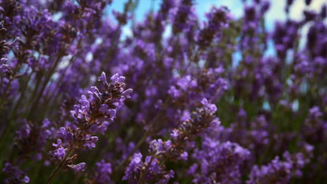 close-up racking shot of lavender flowers and a bee - 植物 ラベンダー点の映像素材/bロール