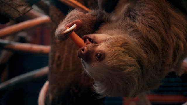 close-up: rare sloth eating carrot - faulheit stock-videos und b-roll-filmmaterial