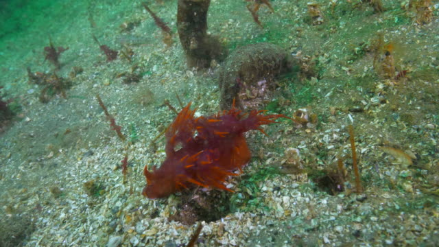 close-up: red nudibranch by tube anemone on ocean floor - monterey, california - sea anemone stock videos & royalty-free footage