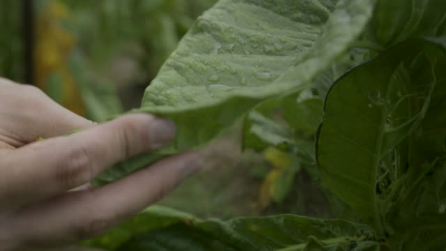 close-up shot of a farmer caring for tobacco plants - tobacco product stock videos & royalty-free footage