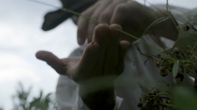 close-up reenactment shot of a farmer picking up dried tobacco seeds during the 1600s - 17th century stock videos & royalty-free footage