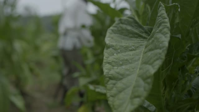 close-up shot of a tobacco leaf with a farmer in the background - tobacco product stock videos & royalty-free footage