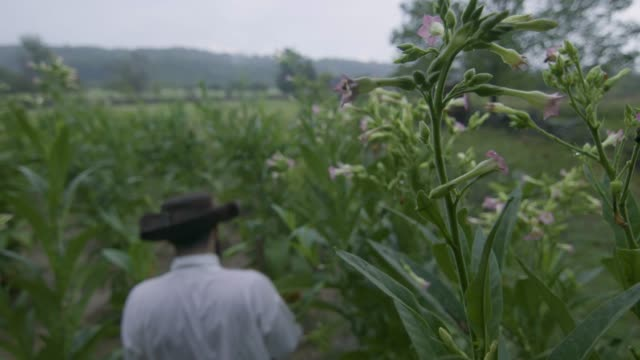 close-up reenactment shot of a tobacco plant with a farmer in the background during the 1600s - 17th century stock videos & royalty-free footage
