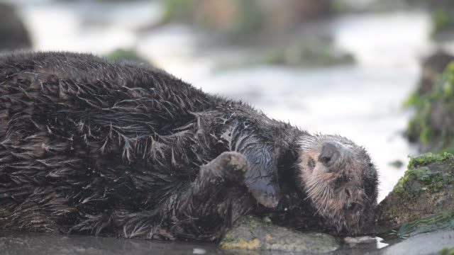 Close-Up: Restless Sea Otter Resting in the Wet Sand Next to Shoreline