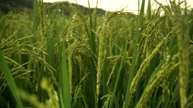 Nahaufnahme: Reisfeld nach Regen