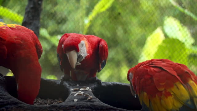 close-up: scarlet macaw parrots eating seeds in zoo - zoo stock videos & royalty-free footage