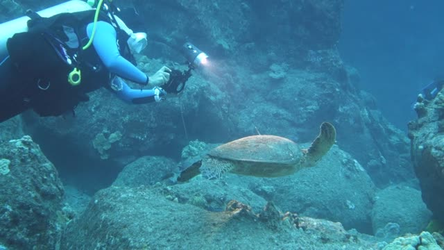 close-up: scuba divers film a sea turtle swimming towards a sea urchin - ricci di mare video stock e b–roll