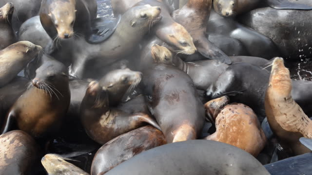 stockvideo's en b-roll-footage met close-up: sea lions claiming territory and climbing over each other on dock - overige