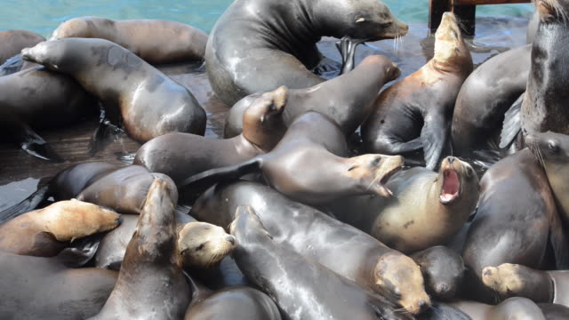 stockvideo's en b-roll-footage met close-up: sea lions claiming territory and resting on dock - zeeleeuw