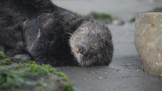 close-up: sea otter falling asleep lying in wet sand near rocks and moss - animal hair点の映像素材/bロール