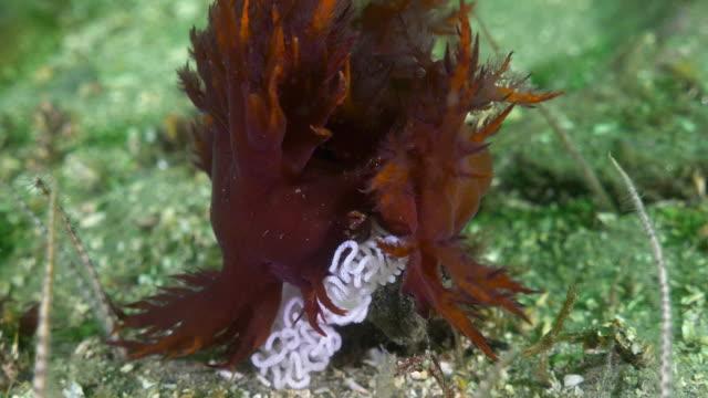 vídeos de stock, filmes e b-roll de close-up: sea slug laying eggs on ocean floor - monterey, ca - lesma