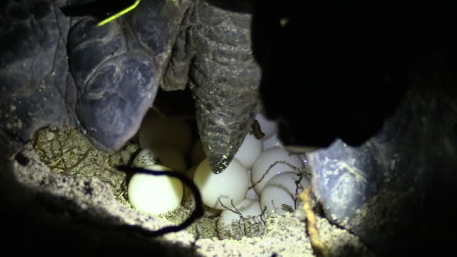 close-up; sea turtle laying eggs, ogasawara, japan - green turtle stock videos & royalty-free footage