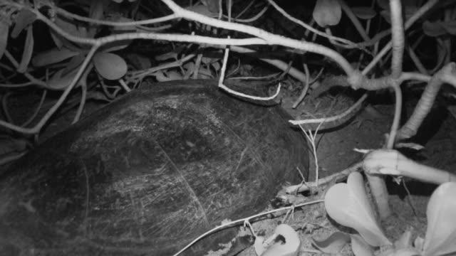 close-up; sea turtle laying eggs, ogasawara, tokyo, japan - green turtle stock videos & royalty-free footage
