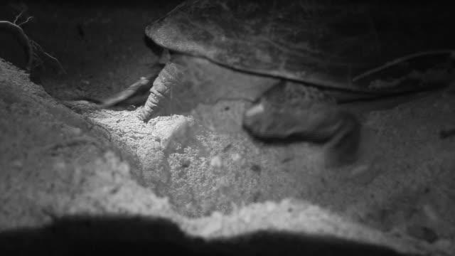 close-up; sea turtle laying eggs, ogasawara, tokyo, japan - sea turtle stock videos & royalty-free footage