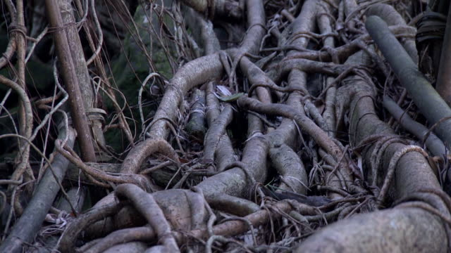 Close-up sequence showing fascinating details of Umkar Living Root Bridge, constructed from the living aerial roots of rubber trees, Siej, Meghalaya, India.