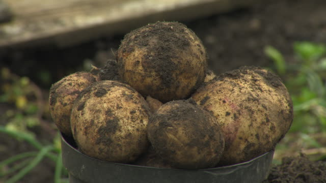 vidéos et rushes de close-up sequence showing freshly-harvested allotment potatoes covered in soil in a black bucket, uk. - pomme de terre