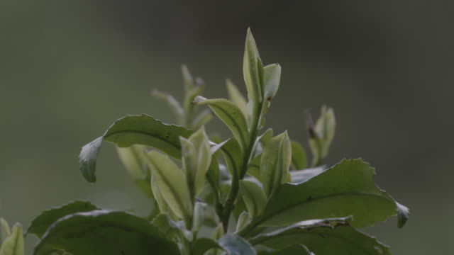 close-up sequence showing growing tea leaves, uk. - tea leaves stock videos & royalty-free footage