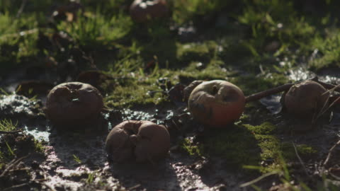 vídeos y material grabado en eventos de stock de close-up sequence showing rotting apples on grass in an orchard in winter, kent, uk. - pudrirse