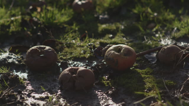 Close-up sequence showing rotting apples on grass in an orchard in winter, Kent, UK.