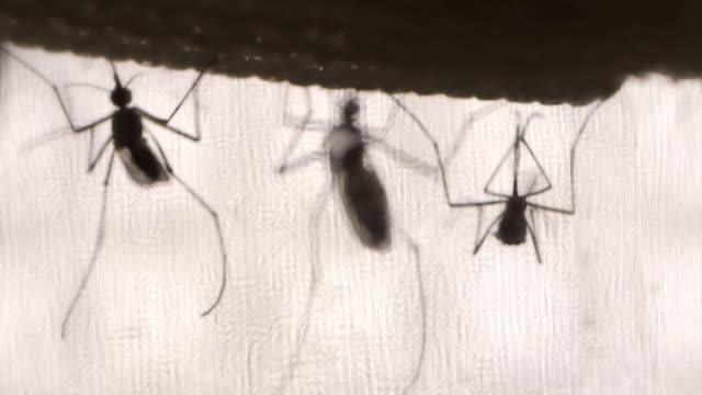 close-up sequence showing views of mosquitoes. - insect stock videos & royalty-free footage