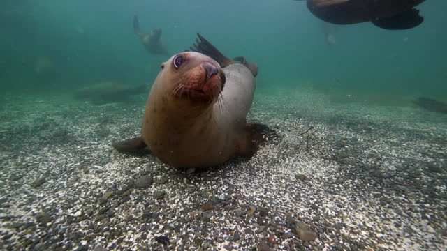 close-up shot bob of seal swimming over ocean surface undersea - british columbia, canada - grey seal stock videos & royalty-free footage