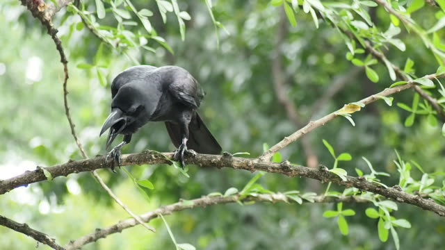 Close-up shot of a black crow in nature with audio of the bird call.
