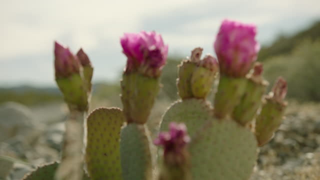 Close-up shot of a blooming cactus