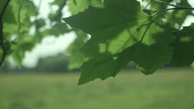 Close-up shot of a broad green leaf on a tree situated on Stourbridge Common swaying in a gentle breeze, Cambridge, UK.