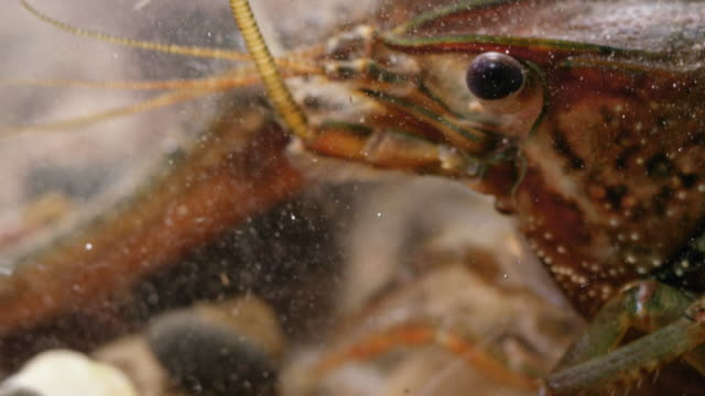 close-up shot of a crayfish moving rocks underwater - swamp stock videos & royalty-free footage