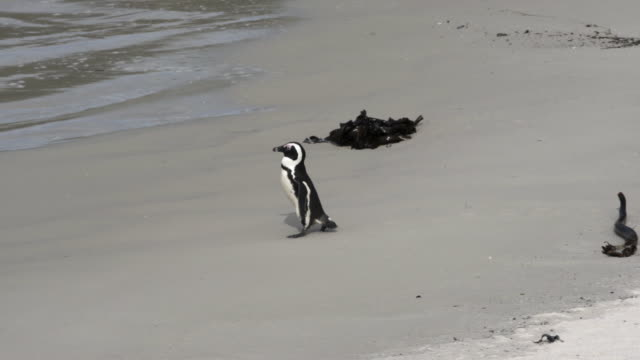 close-up shot of a cute penguin waddling into the waves, camera moving from right to left following the penguin - cape town, south africa - waddling stock videos & royalty-free footage