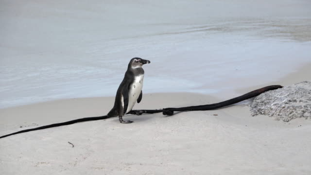 close-up shot of a cute penguin waddling on the sand next to the waves, camera moving from left to right, following the penguin - cape town, south africa - waddling stock videos & royalty-free footage