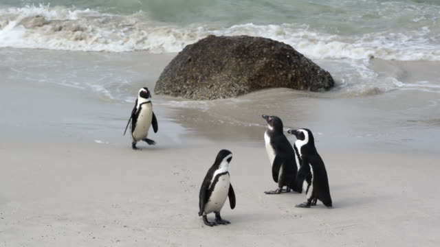 close-up shot of a cute penguin waddling towards others on scenic shore, camera moving from left to right - cape town, south africa - waddling stock videos & royalty-free footage