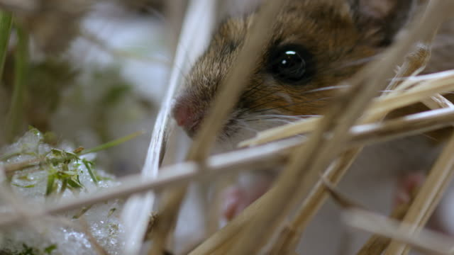 close-up shot of a deer mouse moving around in the snow and sticks - rodent stock videos & royalty-free footage