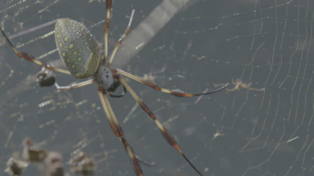 close-up shot of a golden silk spider in a spider web - animal abdomen stock videos and b-roll footage