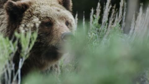 stockvideo's en b-roll-footage met close-up shot of a grizzly looking around in a sagebrush meadow - wyoming
