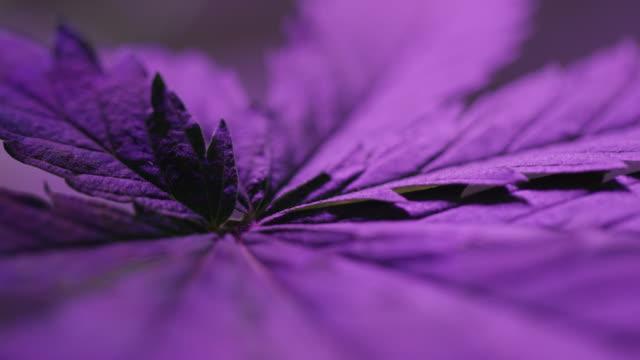 close-up shot of a marijuana (cannabis) leaf underneath a purple light indoors (hemp) - marijuana herbal cannabis stock videos & royalty-free footage