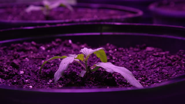close-up shot of a marijuana (cannabis) seeding growing in pots underneath a purple light in an indoor growing facility (hemp) - legalisation stock videos & royalty-free footage