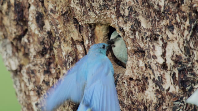 close-up shot of a mountain bluebird passing insects to one another - bird's nest stock videos & royalty-free footage