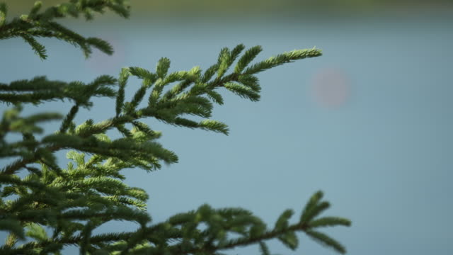 Close-up shot of a pine tree swaying in the wind