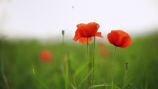 close-up shot of a poppy plant - anzac day stock videos & royalty-free footage