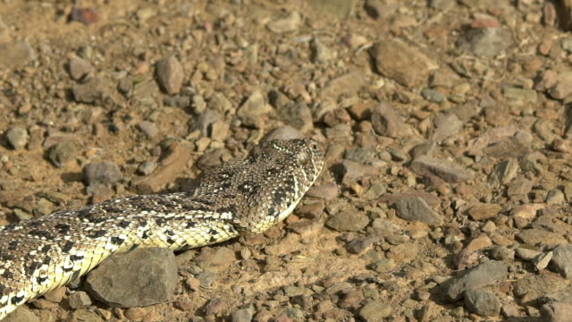 close-up shot of a puff adder moving - snake stock videos & royalty-free footage