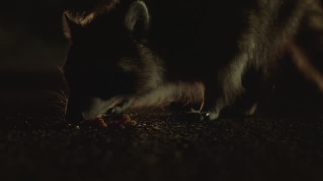 Close-up shot of a raccoon eating food on a road.